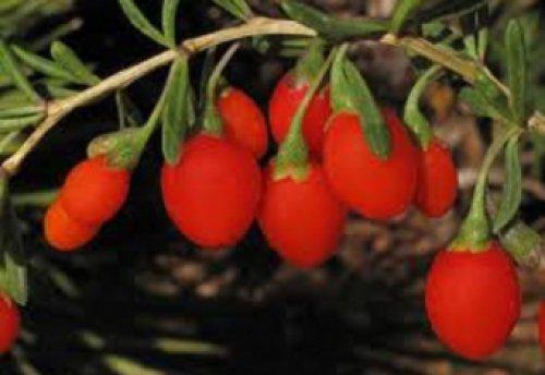 Помогают ли ягоды годжи для похудения: отзывы.